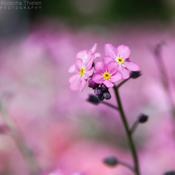 Pink Flower by AljoschaThielen