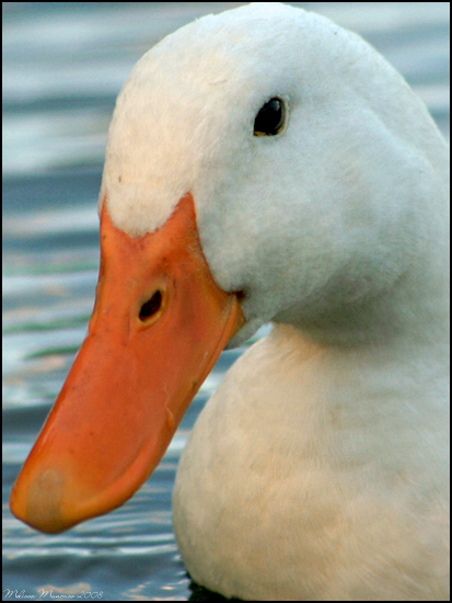White Duck Portrait by mydigitalmind