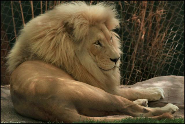 male white lion wallpaper