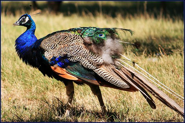 Peacock by mydigitalmind