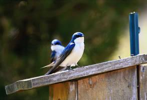 Tree Swallow Pair by mydigitalmind