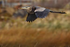 Heron in Flight by mydigitalmind