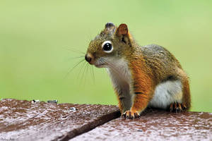 Pine Squirrel by mydigitalmind