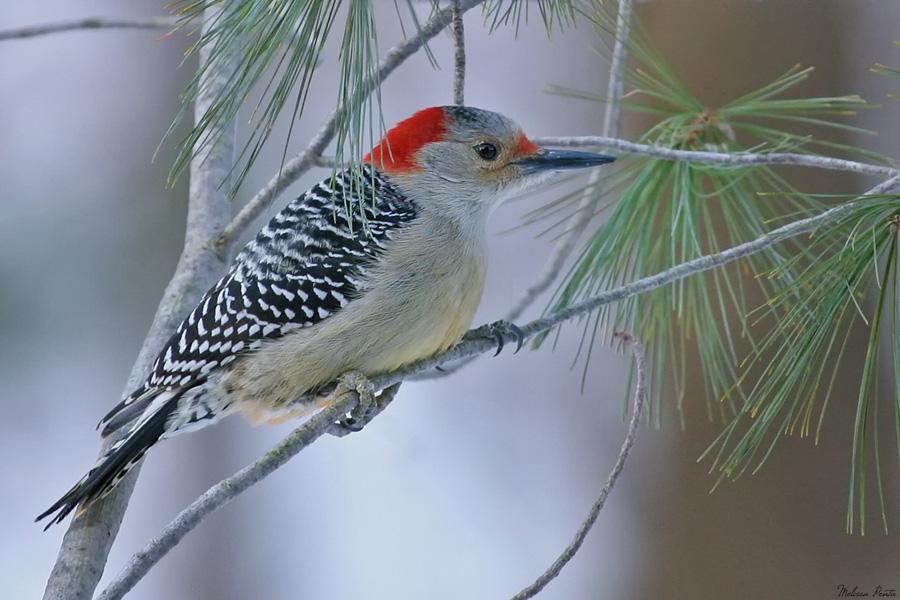 Winter Red-bellied Woodpecker by mydigitalmind