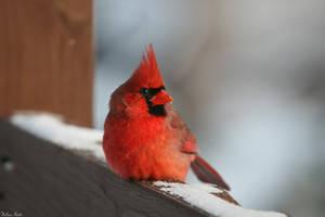 Resting Cardinal