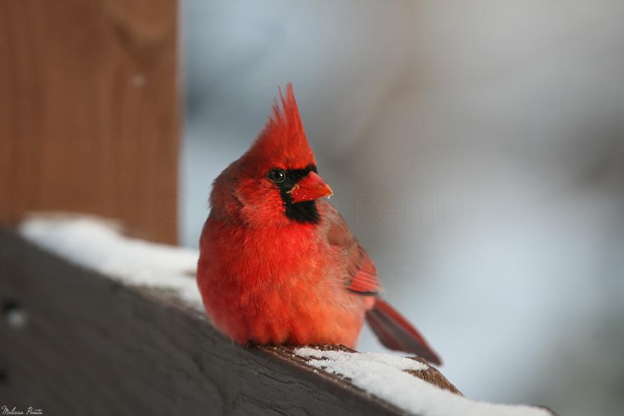 Resting Cardinal by mydigitalmind