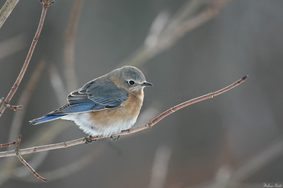 Winter Bluebird by mydigitalmind