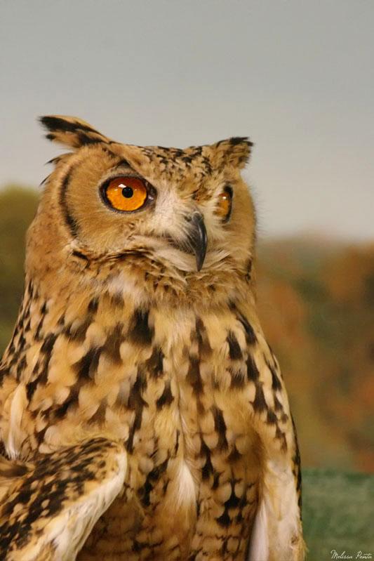 Pharaoh Eagle Owl by mydigitalmind