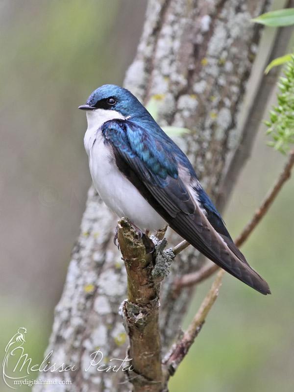 Tree Swallow by mydigitalmind