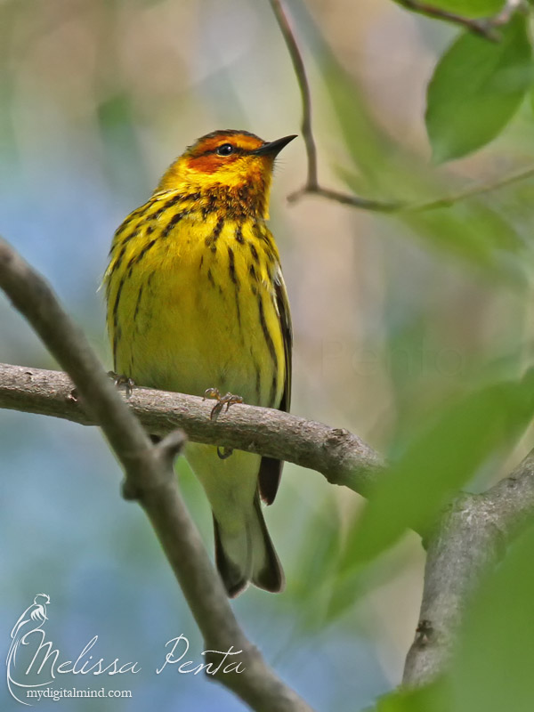 Curious Warbler by mydigitalmind