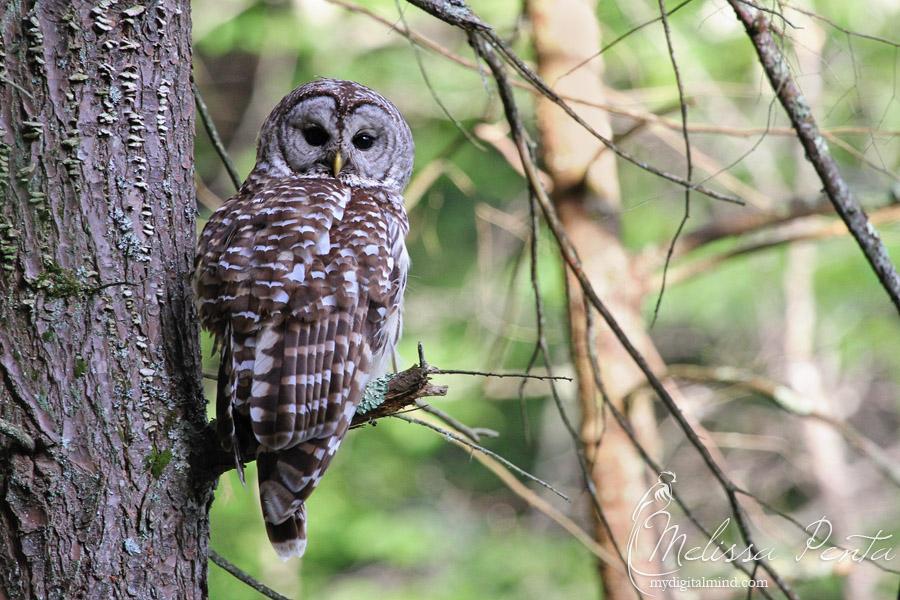Barred Owl by mydigitalmind