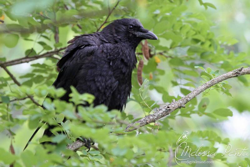 Crow by mydigitalmind