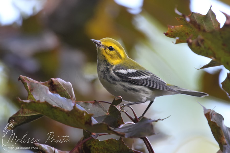 Fall Warbler by mydigitalmind