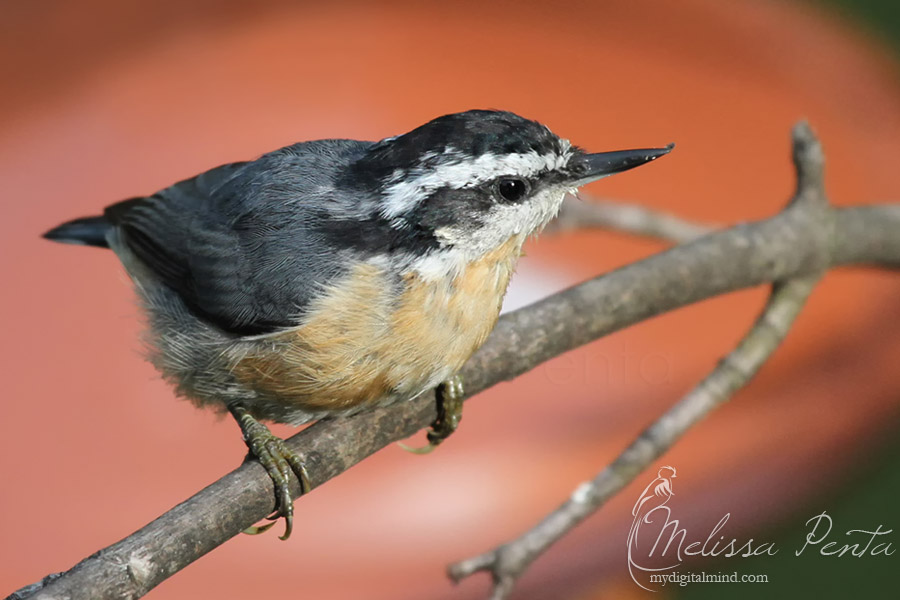 Nuthatch by mydigitalmind