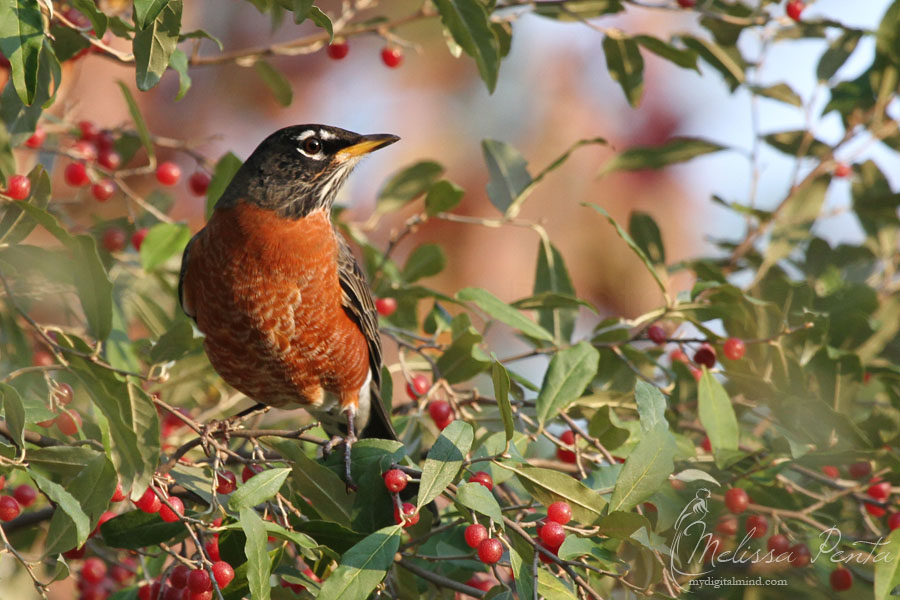 Fall Robin by mydigitalmind