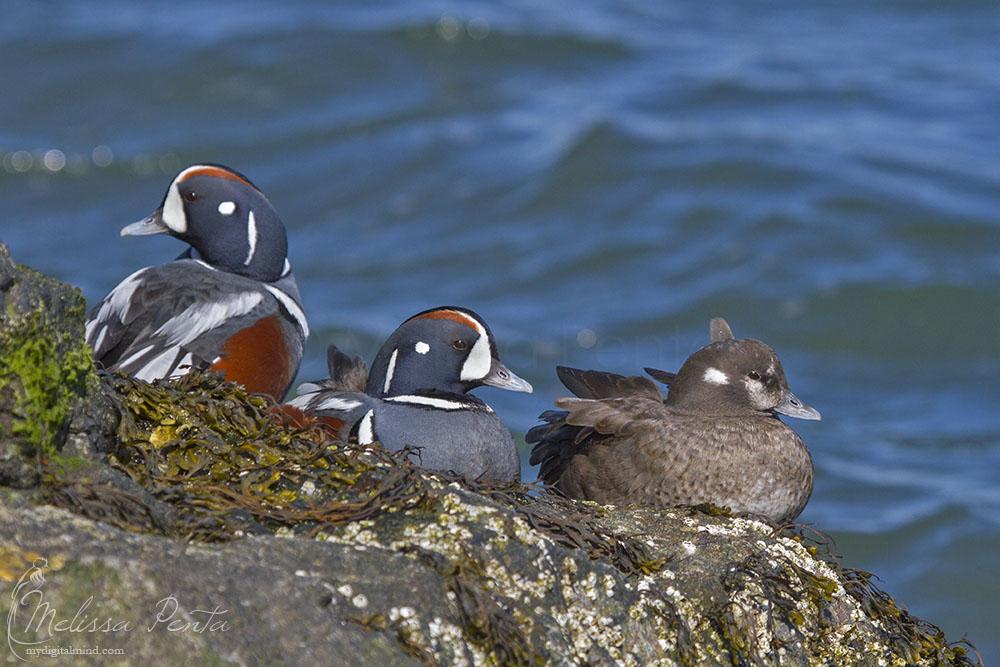 Rock Ducks by mydigitalmind