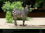 STOCK: Staring Zebra by perzarus