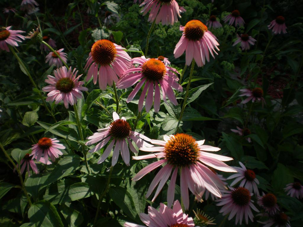 Echinacea Field by Pentacle5