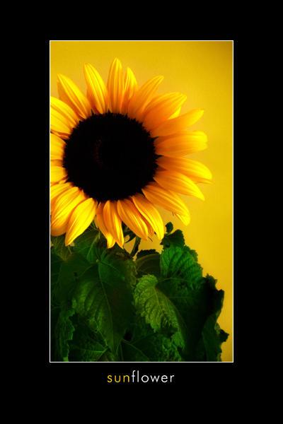 (اسمائها ومعانيها) Sunflower_by_Derfel.
