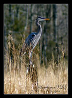 Great Blue Heron by sunflowervlg