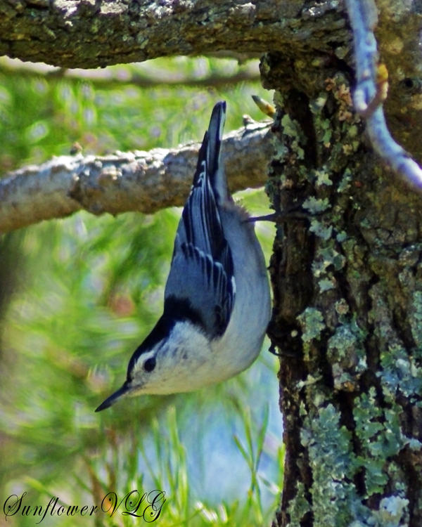 White-brested Nuthatch by sunflowervlg