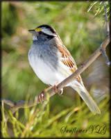 Sparrow by sunflowervlg