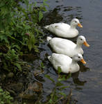 Ducky.2