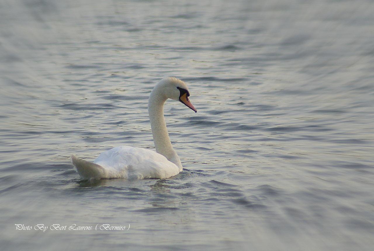 Just a swan. by Bermiro