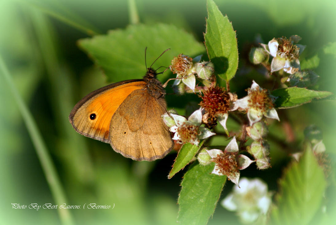 Meadow brown. by Bermiro