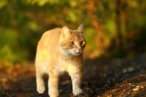 Golden hour cat by janernn