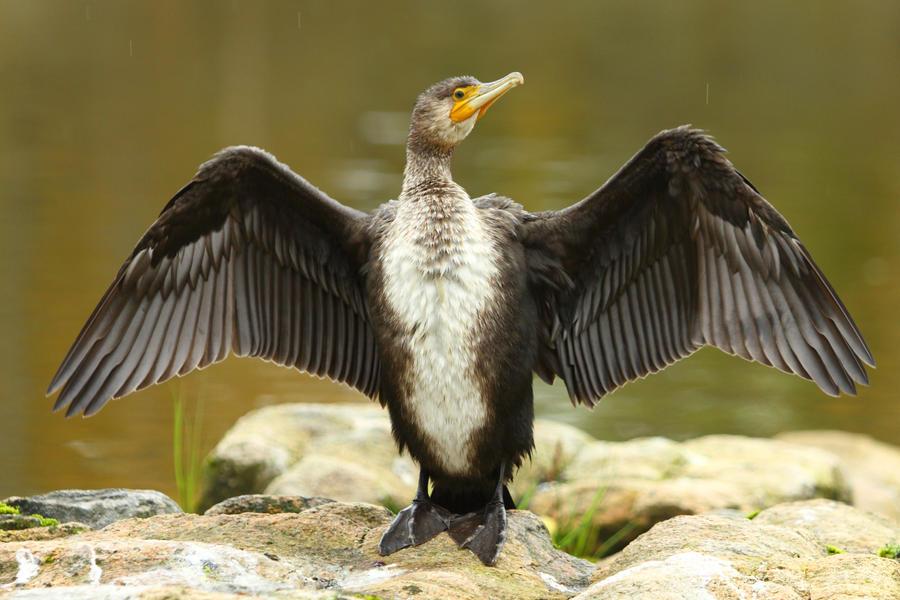 Great Cormorant by janernn