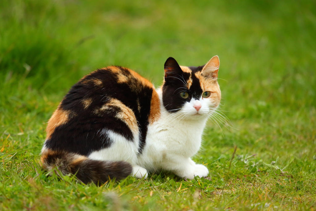 Calico by janernn