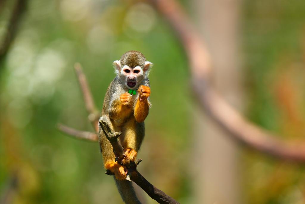 Squirrel monkey by janernn