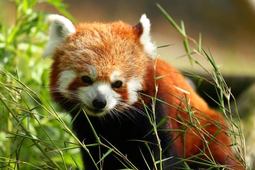 Red Panda cutie