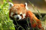 Red Panda cutie by janernn