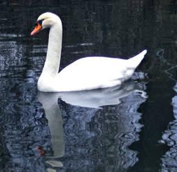 Swan by allison731