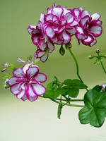 Geranium by allison731