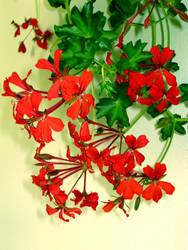 Red Geranium by allison731