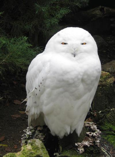Snowy Owl by allison731