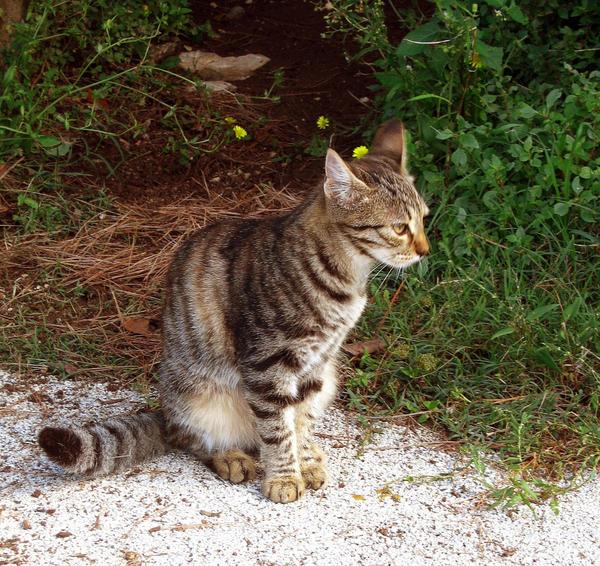 Tabby Cat by allison731