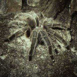 Tarantula by allison731