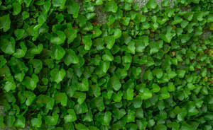 Ivy on the Wall II