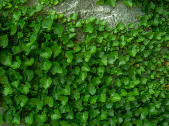 Ivy on the Wall II by allison731