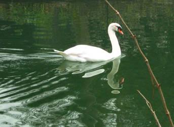 Swan Stock by allison731