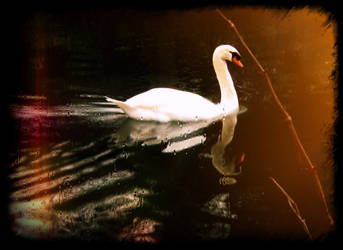 Swan Premade Stock by allison731