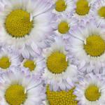 Daisy Texture by allison731