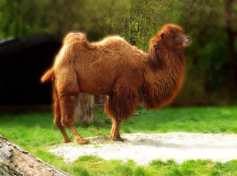 Camel by allison731