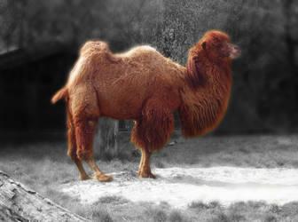 Camel-SC by allison731