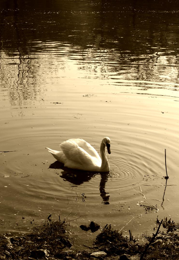 Swan by Vickimai