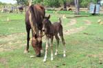 Foal Stock